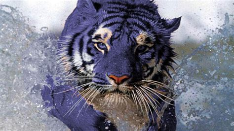 Blue Tiger maltese blue tiger may actually exist proof