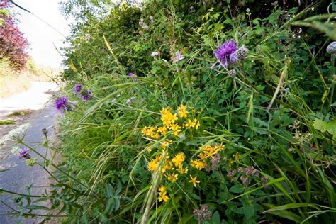 hedgerow wild flower mixture seeds   chiltern