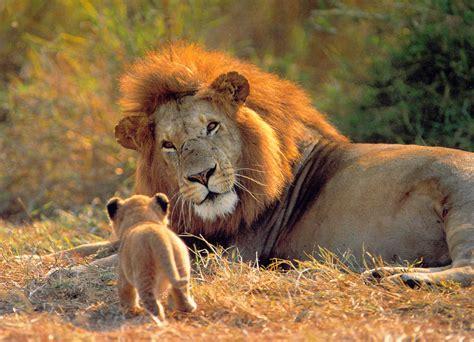 imagenes de animales leon leones caracteristicas y sus mejores fotos taringa