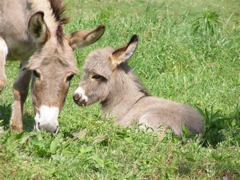 miracle of the century a baby donkey comes out of womb miniature donkeys