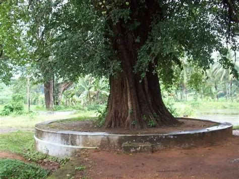 what do trees represent what does a banyan tree represent in hinduism hindu