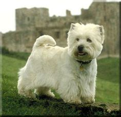 Does A West Highland Terrier Shed by Westie West Highland Terrier I Westie White Terrier Wouldn T And Pictures Of