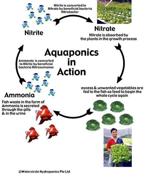 aquaponics diagram aquaponics system a new way in providing organic and