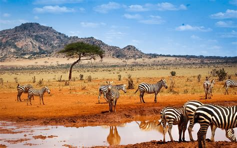 kenya or tanzania safari better kenya safari zebras water blue sky wallpaper animals