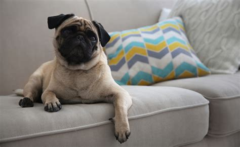 how to dogs to stay furniture how to teach your to stay the furniture