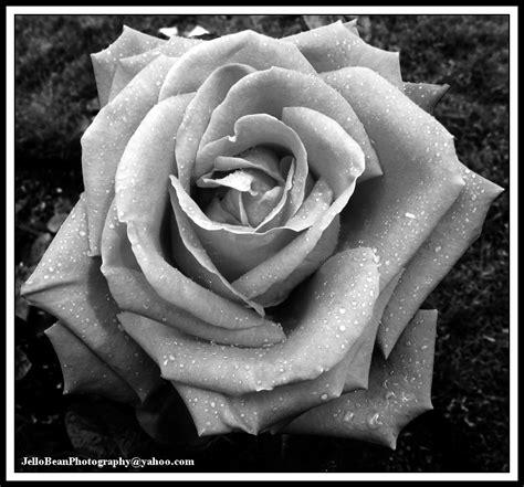 black n white rose black n white cliparts co