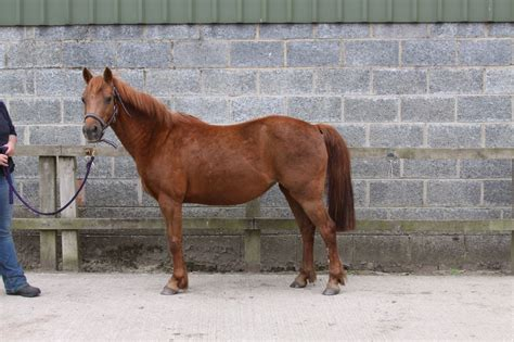 Section B Pony For Sale by Sec B Chestnut Mare York Pets4homes