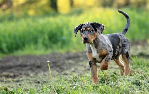 catahoula puppy ramona osche catahoula nero