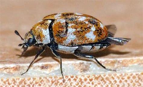 Brown Carpet Beetles by Varied Carpet Beetle Anthrenus Verbasci