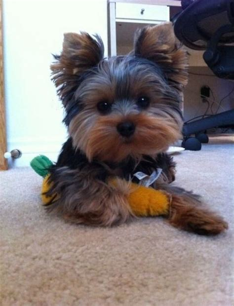 teddy bear yorkie cut yorkey dogs and cats pinterest