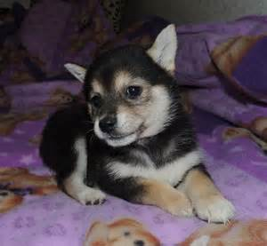 rescue puppies in pa shiba inu puppies for adoption in pa