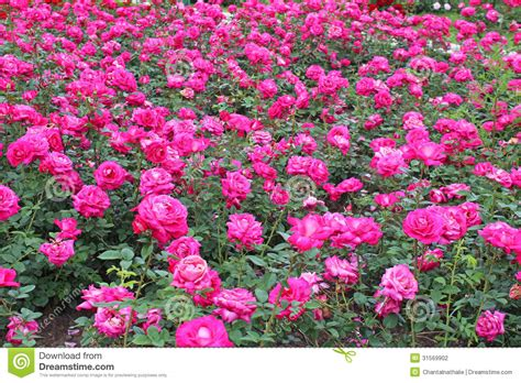 Garden Of Pink pink roses garden stock photography image 31569902