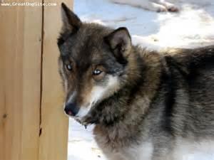 a photo of a 1 year old wolf siberian husky grrrrrr