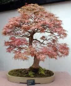 bonzi tree get much information bonsai trees plants