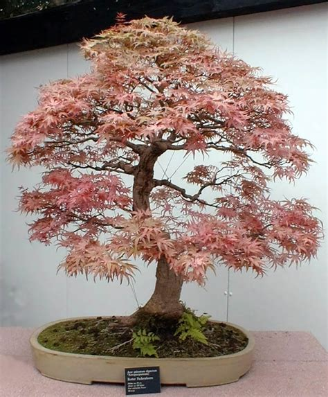 bonsai tree get much information bonsai trees plants
