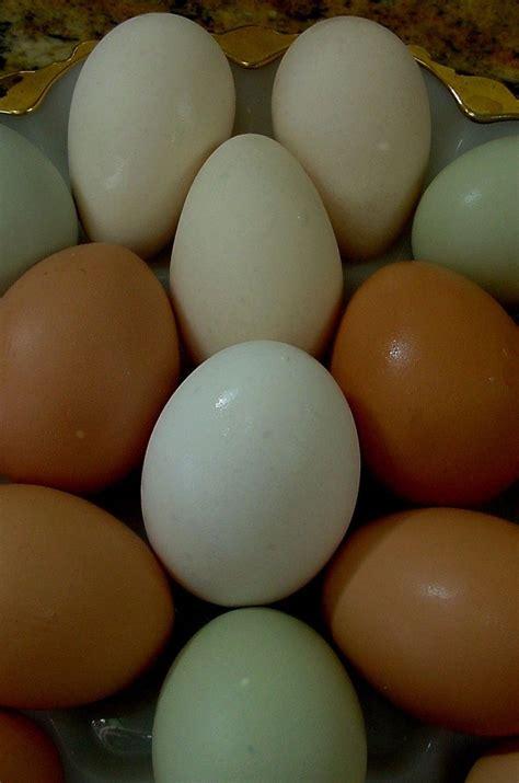 backyard chicken eggs egg colors backyard chickens community