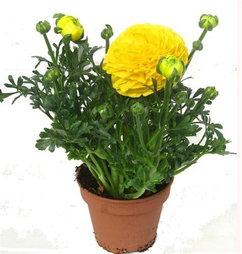 sind ranunkeln winterhart ranunculus hybride gelb ranunkeln fr 252 hbl 252 pflanzen