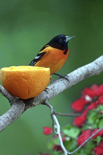 feeding birds with oranges birds and blooms