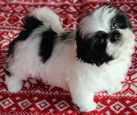 shih tzu puppies for sale in orlando fl shih tzu puppy for sale in south florida shih tzu puppies for sale breeds picture