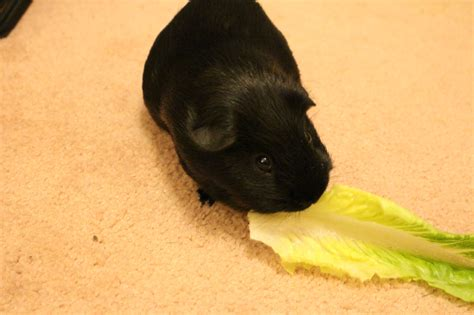 can dogs eat prunes can guinea pigs eat romaine lettuce tips