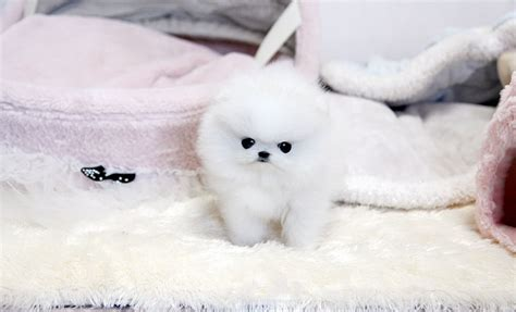 black pomeranian puppies for sale in florida pomeranian puppies for sale in florida teacup images