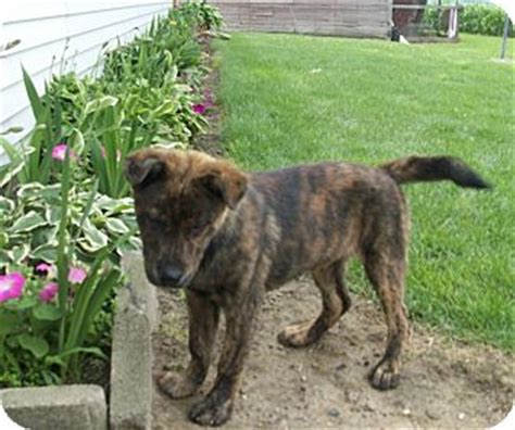 brindle german shepherd puppy german shepherd and boxer mix breeds picture