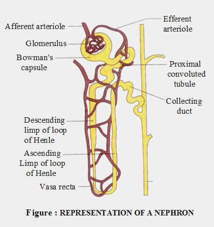 diagram of the nephron http www aplustopper excretory system icse solutions