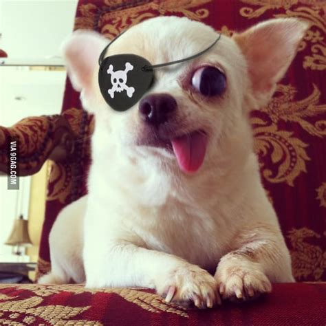 pirate puppy captain pirate 9gag