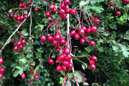 bareroot hawthorn hedge plants  sale ashridge trees