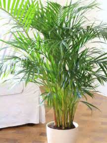 Indoor Palm by Gallery For Gt Indoor Palm