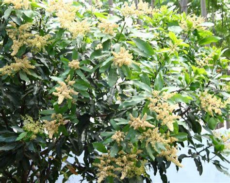 Pupuk Bunga Lebat cara membuat tanaman cepat berbuah lebat