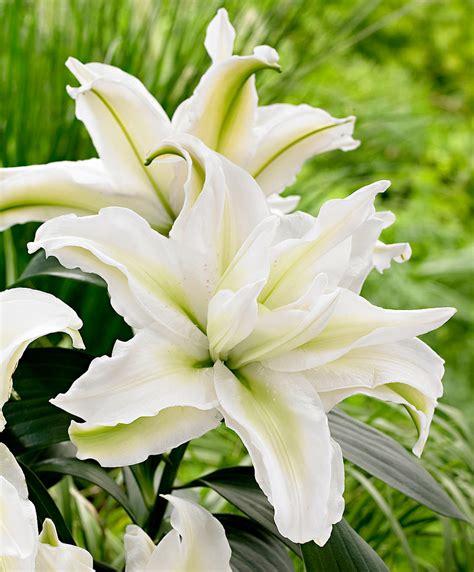 fiori gigli acquista gigli a fiore doppio roselily 174 annika bakker