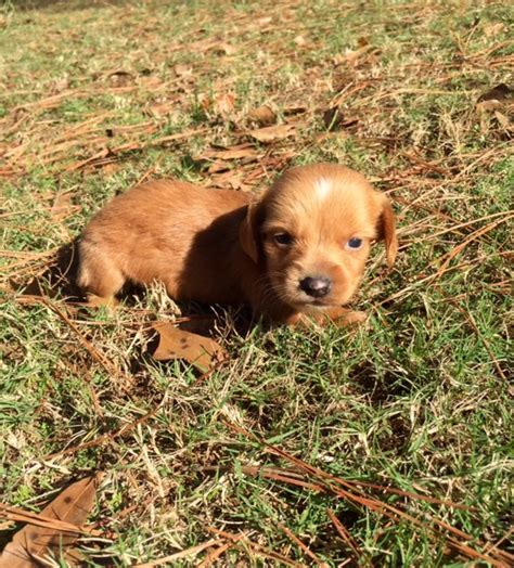 dachshund puppies for sale in alabama dachshund puppies in alabama breeds picture