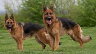 berger l berger allemand tout sur la race de chien berger allemand