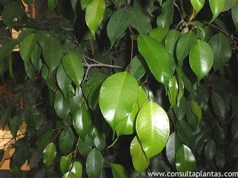 Ficus Interior Campanula Medium Farolillos O Pucheritos Cuidados