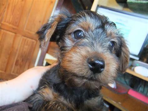 yorkie boy terrier boy puppy wakefield west pets4homes