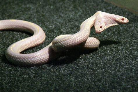 two headed mutant two headed snake shocks at ukraine s skazka zoo