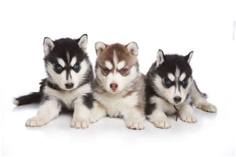 husky puppy names husky www pixshark images galleries with a bite