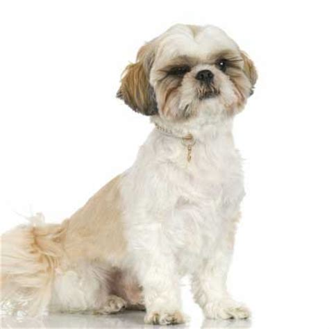 how to care for a shih tzu shih tzu reservoir vet clinic
