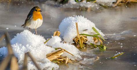 pettirosso alimentazione come attirare gli uccelli nelle tue mangiatoie in inverno