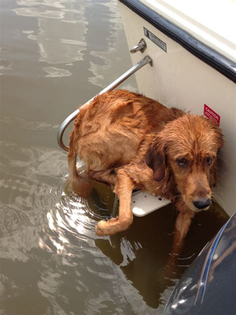 how to get a boat how to get your dog back in the boat after swimming page