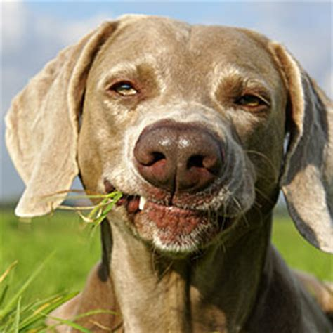 when dogs eat grass assisi animal health s 5 most common questions answered