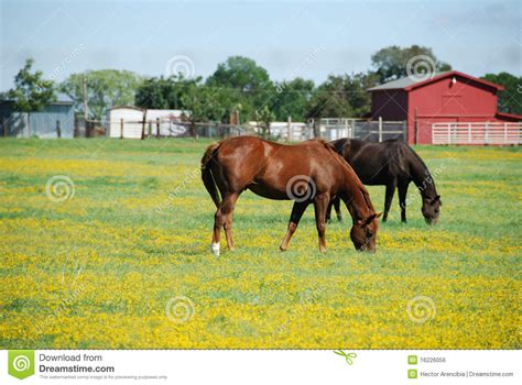 Free House Plan Design Brown And Black Horse On A Farm Eating Grass Royalty Free