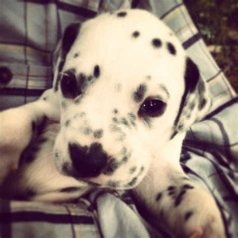 dalmatian puppies for sale in illinois 25 best ideas about dalmatian puppies for sale on dalmatians for sale