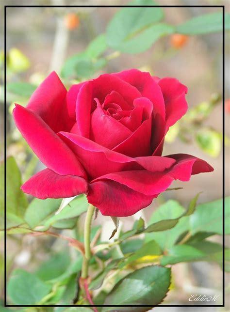 ddl rad rose