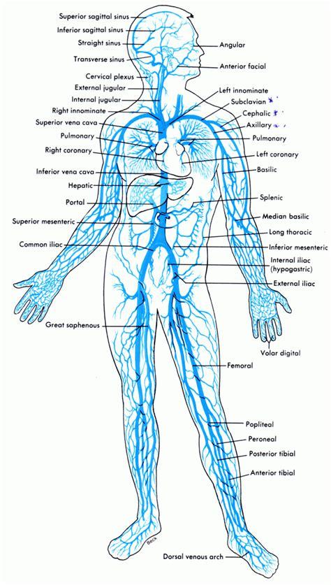 diagram of veins veins in the human diagram anatomy organ