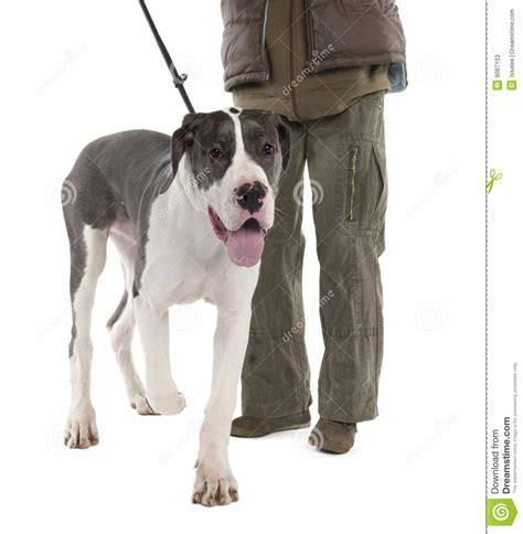 6 month puppy behavior great dane puppy on a leash 6 months stock photos image 9087153