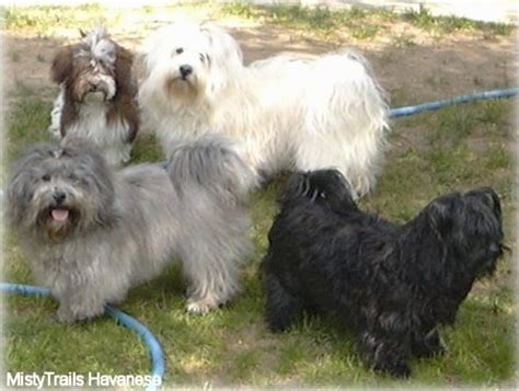 mistytrails havanese havanese breed information and pictures