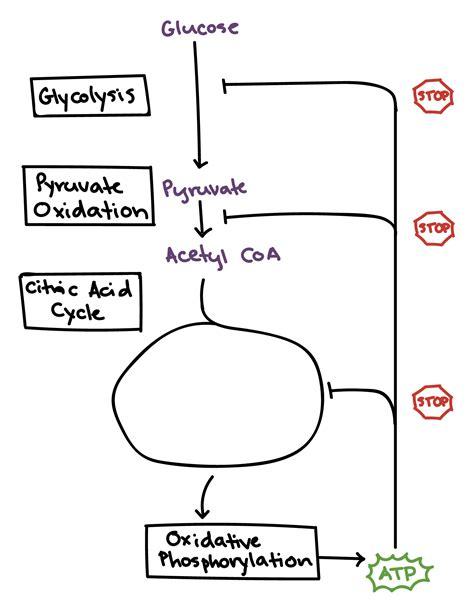 pyruvate oxidation diagram regulation of cellular respiration grodski ap biology