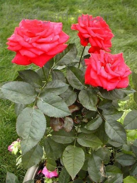 rose royal plantfiles pictures hybrid tea rose royal william rosa